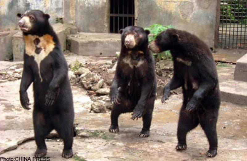 Sun Bear Malacca Zoo