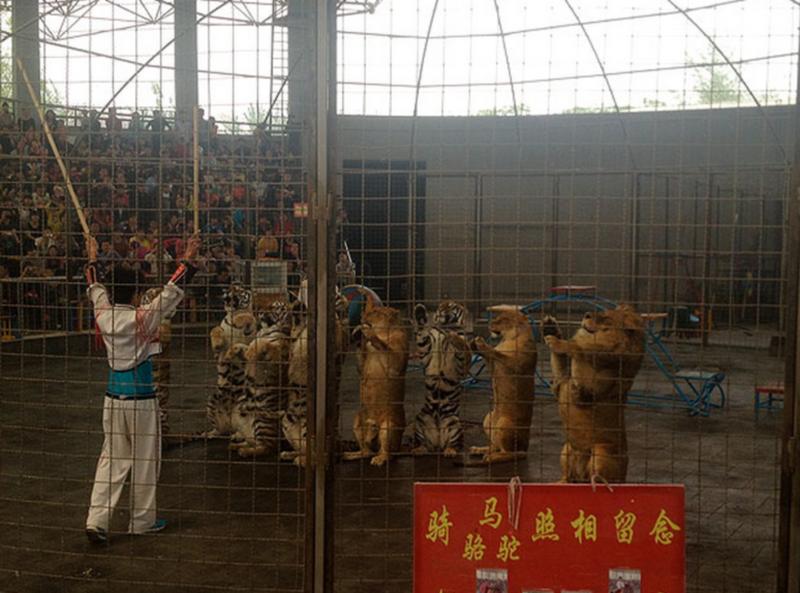 Tiger Abuse China