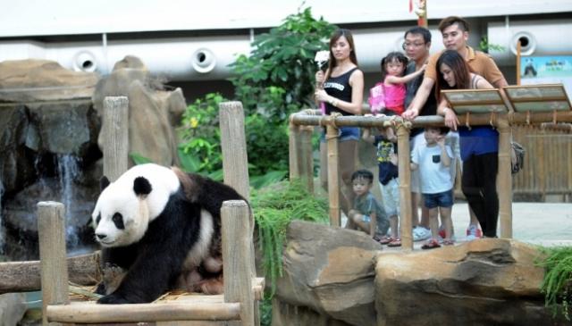 Panda in Zoo Negara November 2015
