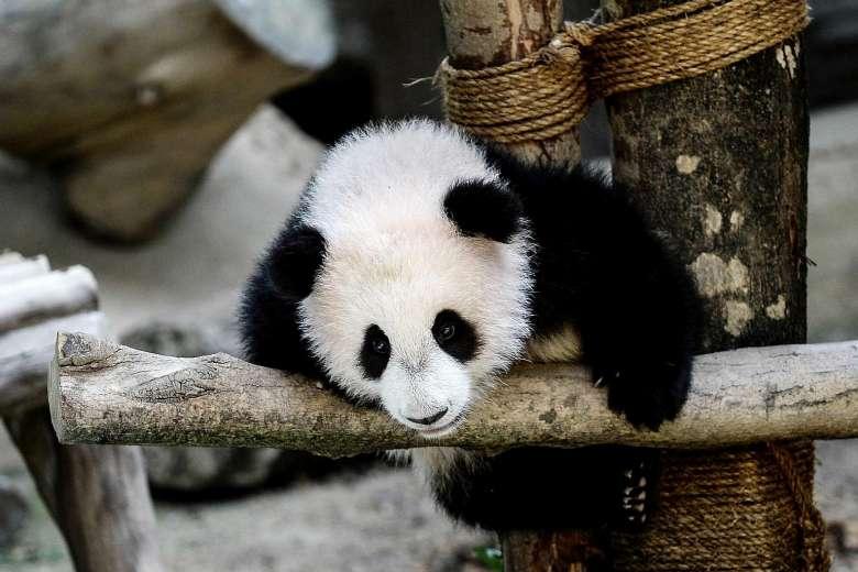 baby panda AFP