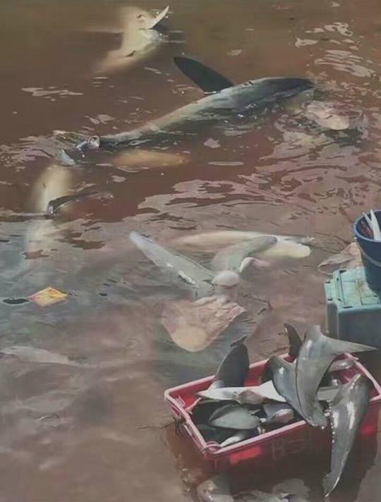 Shark Finning Mabul Island