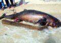 MELAKA 17 JULY 2017. Keadaan bangkai yang dipercayai anak ikan paus yang terdampar di Pantai Puteri. STR/ MUHAMMAD ZUHAIRI ZUBER