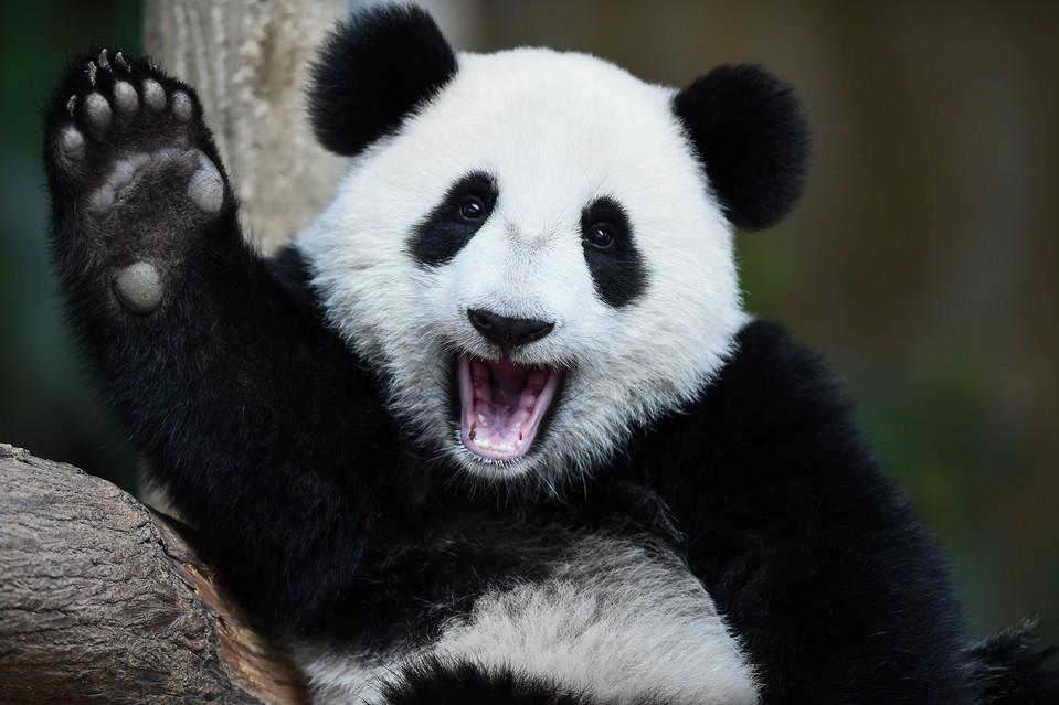 nuan nuan baby panda